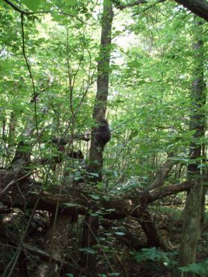 Porcupine climbing tree