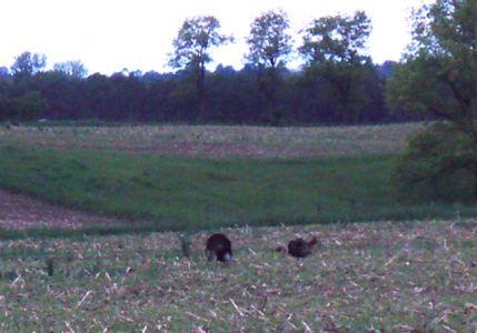 Wild Turkeys - Mating Season (2)
