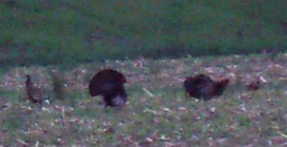 Wild Turkeys - Mating Season (4)