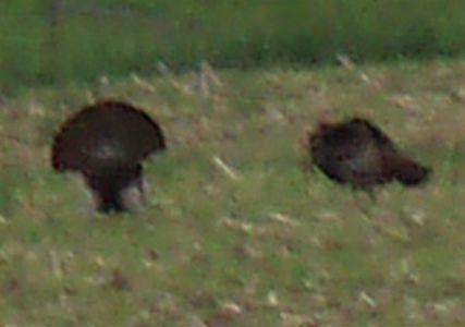 Wild Turkeys - Mating Season (5)