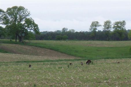 Wild Turkeys - Mating Season (12)
