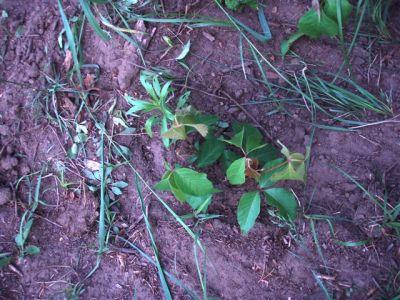 Garden Weeds - Poison Ivy!