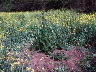 Garden Mound -Corn-Beans-Squash!