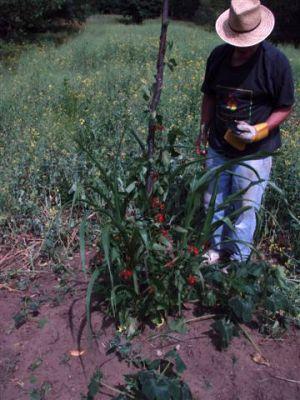 Garden Mound -Corn-Beans-Squash (4)