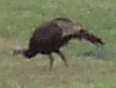 Wild Turkeys (6)