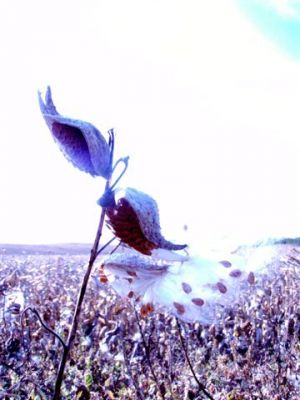 Seeds of life - Milkweed